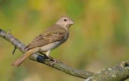 Il rosefinch comune si siede sul ramoscello smal di mattina leggero fotografia stock