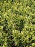 Il rosmarino verde pianta le erbe aromathic tipiche Europa meridionale immagine stock