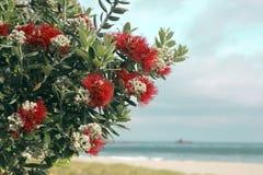 Il rosso dell'albero di Pohutukawa fiorisce la spiaggia sabbiosa Fotografia Stock