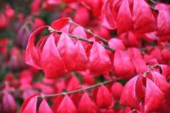 Il rosso di autunno lascia la preparazione cadere dall'albero Immagini Stock