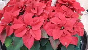 Il rosso di feste di Natale fiorisce il decoradion Immagine Stock Libera da Diritti