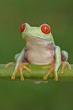 Il rosso eyed la rana di albero Fotografia Stock Libera da Diritti