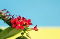 Il rosso fiorisce la d Fotografie Stock