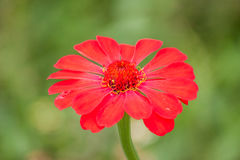 Il rosso fiorisce la zinnia Immagine Stock
