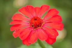 Il rosso fiorisce la zinnia Fotografia Stock