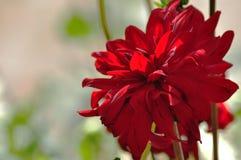 Il rosso fiorisce il lilya Immagini Stock