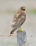 Il rosso ha munito il falco di coda sulla posta della rete fissa che cerca la preda, grande sur, califor Fotografie Stock Libere da Diritti