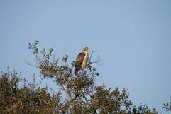 Il rosso ha munito il jamaicensis di coda di Hawk Buteo che si siede nella cima d'albero Fotografia Stock Libera da Diritti