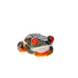 Il rosso ha osservato la rana di albero alla notte su fondo bianco Immagini Stock Libere da Diritti
