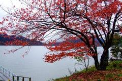 Il rosso lascia l'albero alla riva del lago nell'autunno, fotografia stock libera da diritti