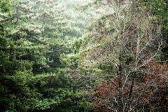 Il rosso lascia l'albero con il fondo del pino Fotografia Stock