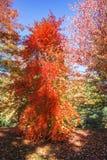 Il rosso luminoso va sull'albero di autum il giorno soleggiato immagini stock