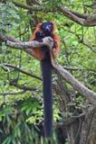 Il rosso ruffed le lemure con una coda folta lunga Immagine Stock