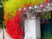 Il rosso tagliente lascia la copertura della parete Fotografie Stock Libere da Diritti