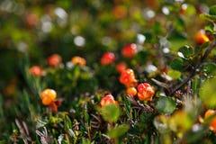 Il rovo si sviluppa nella foresta Carelia del nord fotografie stock libere da diritti