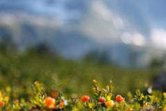 Il rovo si sviluppa nella foresta Carelia del nord Fotografie Stock