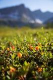 Il rovo si sviluppa nella foresta Carelia del nord fotografia stock