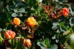 Il rovo si sviluppa nella foresta Carelia del nord fotografia stock libera da diritti