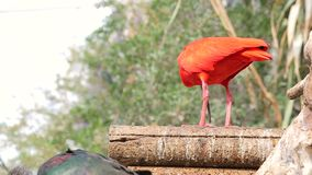 Il ruber rosso di Eudocimus dell'ibis con il suo becco abilmente mangia il piccolo pesce Nutrizione nel selvaggio stock footage