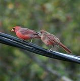 Il ` s bon pour être un jeune cardinal Image libre de droits