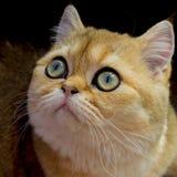 Il ` s del gatto osserva, primo piano del gatto di Britannici Shorthair, di 7 mesi immagini stock