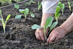 Il ` s del giardiniere passa la piantatura della piantina del cavolo fotografia stock libera da diritti