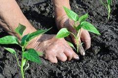 Il ` s del giardiniere passa la piantatura della piantina del pepe fotografia stock libera da diritti