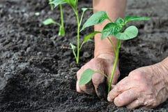 Il ` s del giardiniere passa la piantatura della piantina del pepe immagine stock