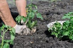 Il ` s del giardiniere passa la piantatura della piantina del pomodoro fotografia stock