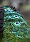 Il ` s del pavone ha macchiato le piume di coda blu e verdi Immagini Stock Libere da Diritti