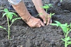 Il ` s dell'agricoltore passa la piantatura della piantina del pomodoro Immagine Stock