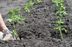 Il ` s dell'agricoltore passa la piantatura della piantina del pomodoro Immagini Stock Libere da Diritti