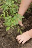 Il ` s dell'agricoltore passa la piantatura della piantina del pomodoro nell'orto fotografia stock