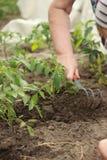 Il ` s dell'agricoltore passa la piantatura della piantina del pomodoro nell'orto fotografia stock libera da diritti
