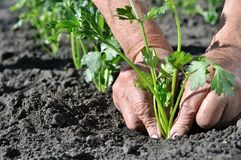 Il ` s dell'agricoltore passa la piantatura della piantina del sedano Immagini Stock