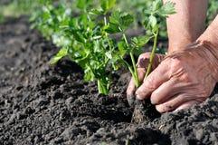 Il ` s dell'agricoltore passa la piantatura della piantina del sedano immagine stock libera da diritti