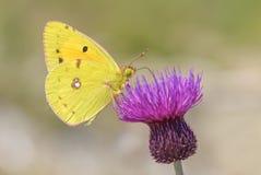 Il ` s di Berger si è appannato la farfalla gialla - alfacariensis di Colias Fotografia Stock