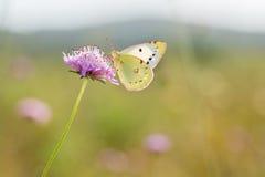 Il ` s di Berger si è appannato la farfalla gialla, alfacariensis di Colias Fotografia Stock