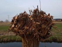 """Il salice ha annodato per nuovo si sviluppa alla S """"Gravenweg nella tana aan Ijssel di Nieuwerkerk nei Paesi Bassi fotografie stock"""
