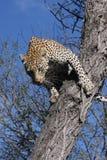 Il salto del leopardo Fotografia Stock