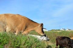 Il salto della mucca Fotografia Stock