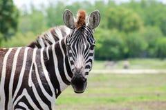 Il see& x27 della zebra; s voi! immagini stock