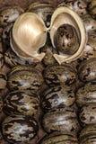 Il seme dell'albero di gomma sulla corteccia su altri semi dell'albero di gomma, hevea brasiliensis semina la foto del primo pian Fotografie Stock Libere da Diritti
