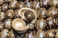 Il seme dell'albero di gomma sulla corteccia su altri semi dell'albero di gomma, hevea brasiliensis semina la foto del primo pian Fotografia Stock Libera da Diritti