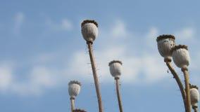 il seme di papavero del fondo dirige i bastoni asciutti con la nuvola di bianco del cielo blu Fotografia Stock