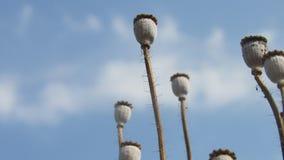 il seme di papavero del fondo dirige i bastoni asciutti con la nuvola di bianco del cielo blu Fotografia Stock Libera da Diritti