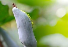 Il seme gigante dell'orecchio dell'elefante (odora di Alocasia) Fotografia Stock Libera da Diritti