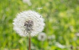Il seme lascia il fiore Fotografie Stock