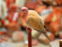 Il senegalensis di risata di Spilopelia della colomba è un piccolo piccione che è un selezionatore residente in Africa, Medio Ori immagine stock