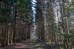 il sentiero forestale vuoto, entrambi i lati ha grandi alberi attillati; fotografie stock libere da diritti